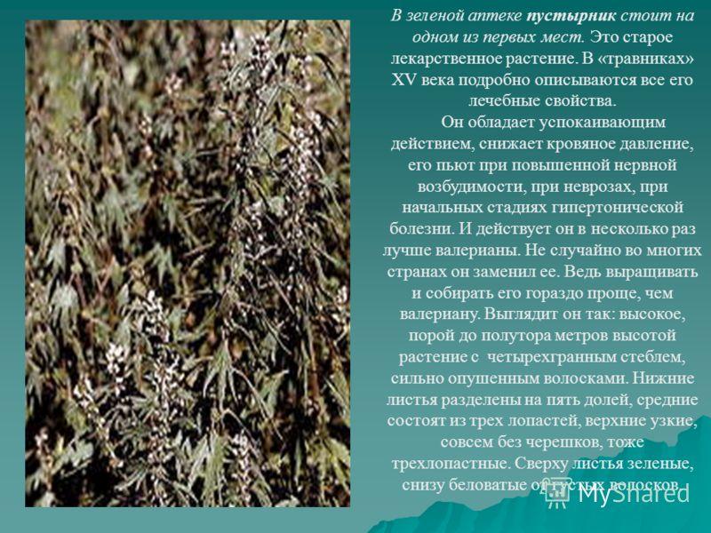 В зеленой аптеке пустырник стоит на одном из первых мест. Это старое лекарственное растение. В «травниках» XV века подробно описываются все его лечебные свойства. Он обладает успокаивающим действием, снижает кровяное давление, его пьют при повышенной