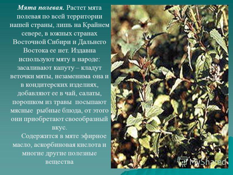 Мята полевая. Растет мята полевая по всей территории нашей страны, лишь на Крайнем севере, в южных странах Восточной Сибири и Дальнего Востока ее нет. Издавна используют мяту в народе: засаливают капуту – кладут веточки мяты, незаменима она и в конди
