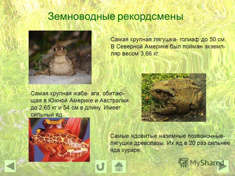 Земноводные рекордсмены Самая крупная лягушка- голиаф до 50 см. В Северной Америке был пойман экземп- ляр весом 3,66 кг. Самая крупная жаба- ага, обитаю- щая в Южной Америке и Австралии до 2,65 кг и 54 см в длину. Имеет сильный яд. Самые ядовитые наз