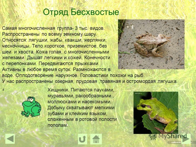 Отряд Бесхвостые Самая многочисленная группа- 3 тыс. видов. Распространены по всему земному шару. Относятся: лягушки, жабы, квакши, жерлянки, чесночницы. Тело короткое, приземистое, без шеи и хвоста. Кожа голая, с многочисленными железами. Дышат легк