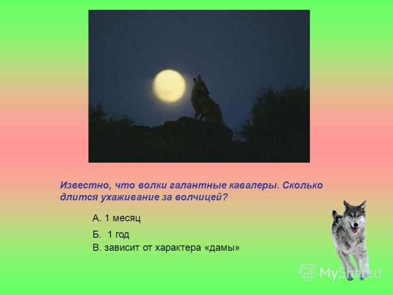 Известно, что волки галантные кавалеры. Сколько длится ухаживание за волчицей? А. 1 месяц Б. 1 год В. зависит от характера «дамы»