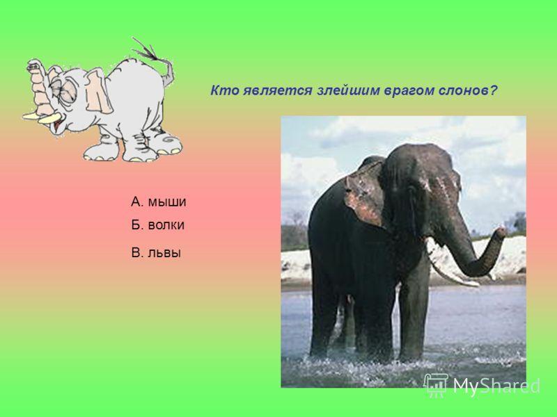 Кто является злейшим врагом слонов? А. мыши Б. волки В. львы
