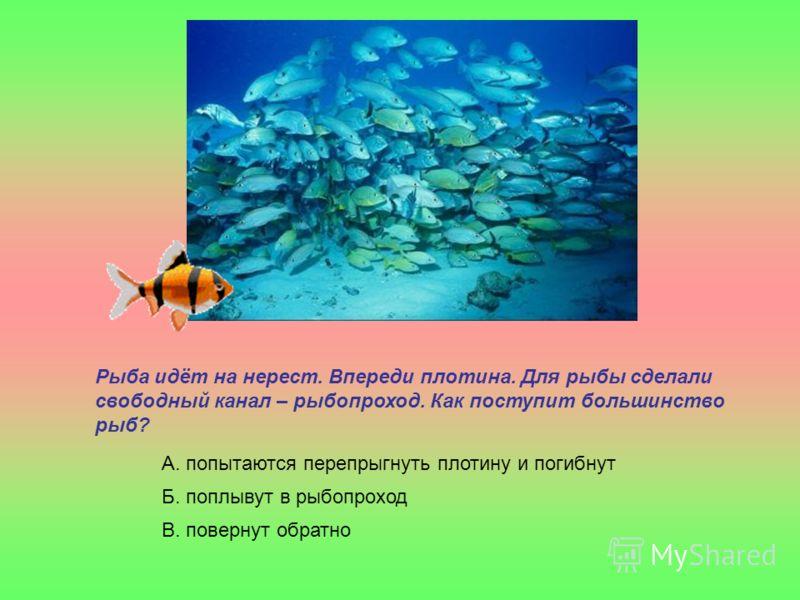 Рыба идёт на нерест. Впереди плотина. Для рыбы сделали свободный канал – рыбопроход. Как поступит большинство рыб? А. попытаются перепрыгнуть плотину и погибнут Б. поплывут в рыбопроход В. повернут обратно