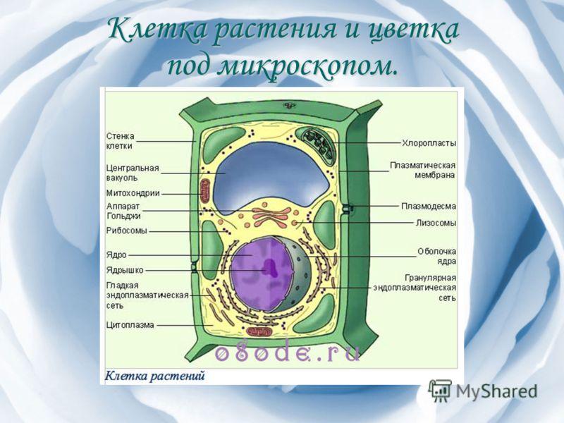 Клетка растения и цветка под микроскопом.