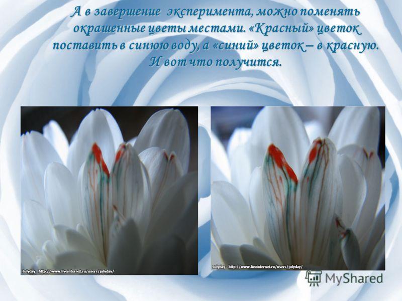 А в завершение эксперимента, можно поменять окрашенные цветы местами. «Красный» цветок поставить в синюю воду, а «синий» цветок – в красную. И вот что получится.