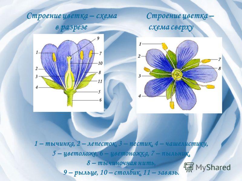 Строение цветка – схема в разрезе Строение цветка – схема сверху 1 – тычинка, 2 – лепесток, 3 – пестик, 4 – чашелистики, 5 – цветоложе, 6 – цветоножка, 7 – пыльник, 8 – тычиночная нить, 9 – рыльце, 10 – столбик, 11 – завязь.