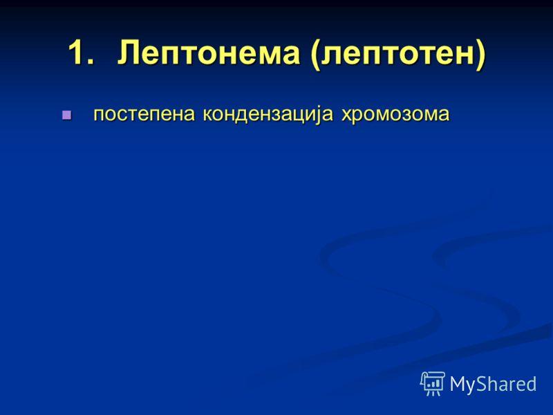 1.Лептонема (лептотен) постепена кондензација хромозома постепена кондензација хромозома