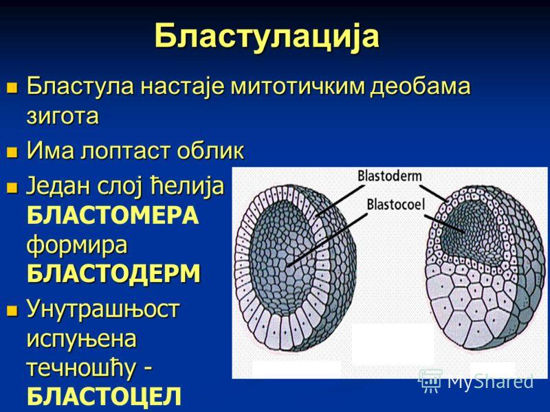Бластулација Бластула настаје митотичким деобама зигота Бластула настаје митотичким деобама зигота Има лоптаст облик Има лоптаст облик Један слој ћелија формира БЛАСТОДЕРМ Један слој ћелија БЛАСТОМЕРА формира БЛАСТОДЕРМ Унутрашњост испуњена течношћу