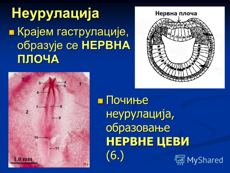 Неурулација Крајем гаструлације, образује се НЕРВНА ПЛОЧА Крајем гаструлације, образује се НЕРВНА ПЛОЧА Нервна плоча Почиње неурулација, образовање НЕРВНЕ ЦЕВИ (6.) Почиње неурулација, образовање НЕРВНЕ ЦЕВИ (6.)