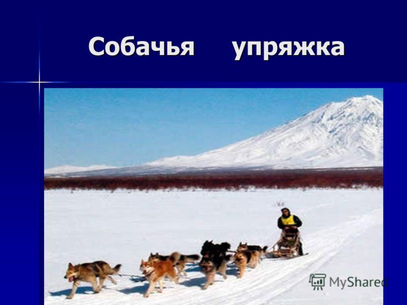Собачья упряжка Собачья упряжка