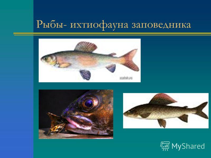 Рыбы- ихтиофауна заповедника