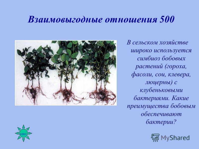 Взаимовыгодные отношения 500 В сельском хозяйстве широко используется симбиоз бобовых растений (гороха, фасоли, сои, клевера, люцерны) с клубеньковыми бактериями. Какие преимущества бобовым обеспечивают бактерии? ответ