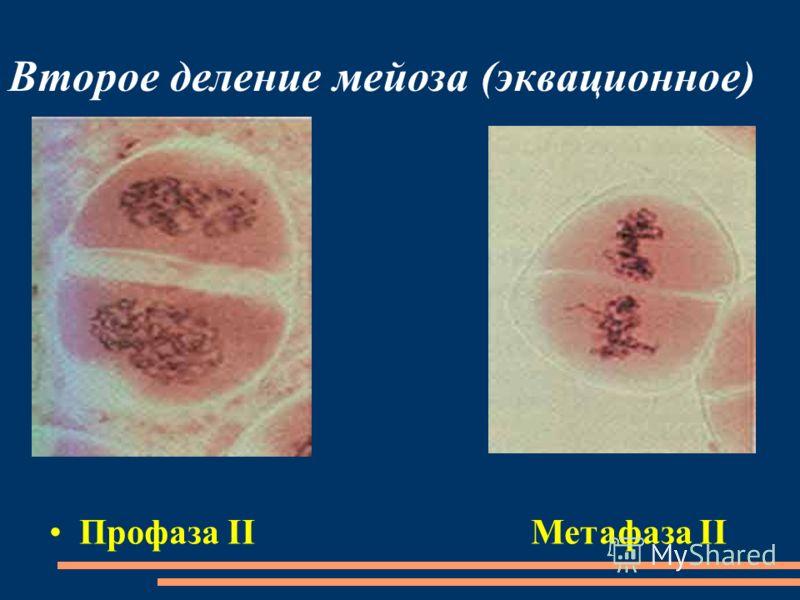 Второе деление мейоза (эквационное) Профаза II Метафаза II