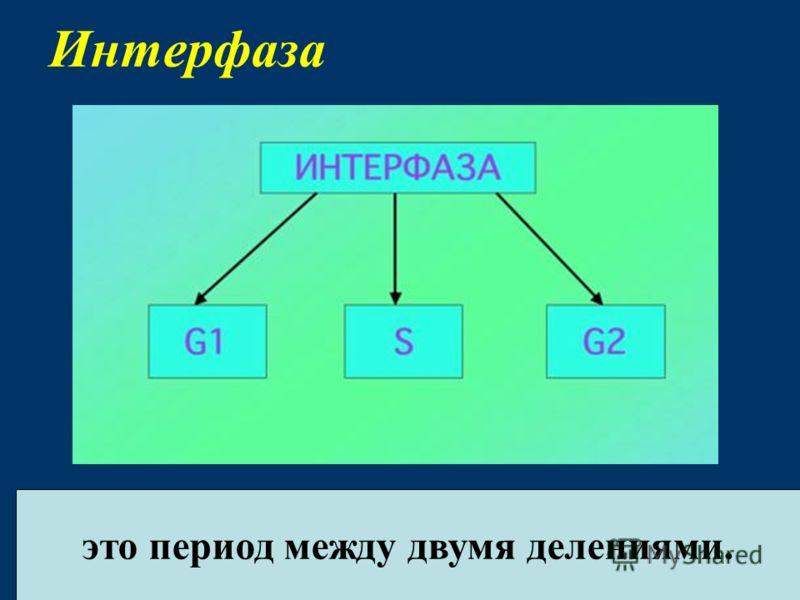 Интерфаза это период между двумя делениями.