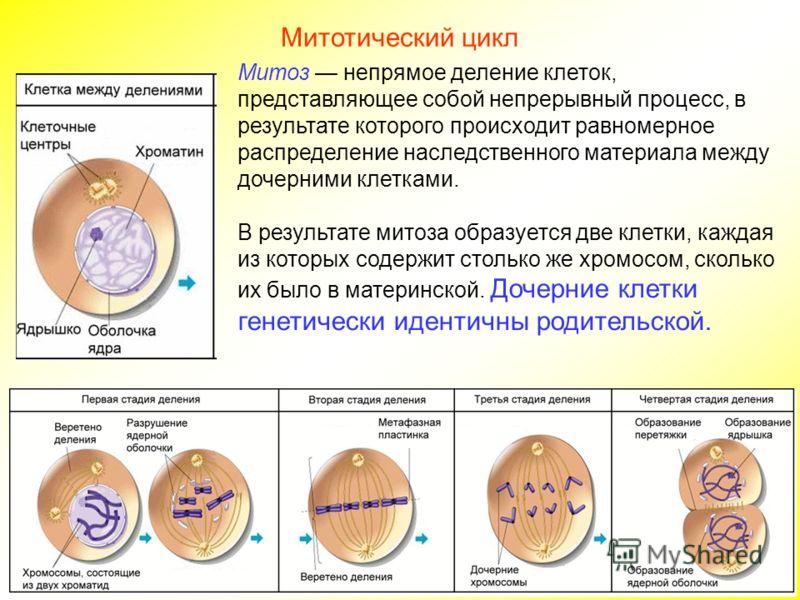 Митоз непрямое деление клеток, представляющее собой непрерывный процесс, в результате которого происходит равномерное распределение наследственного материала между дочерними клетками. В результате митоза образуется две клетки, каждая из которых содер