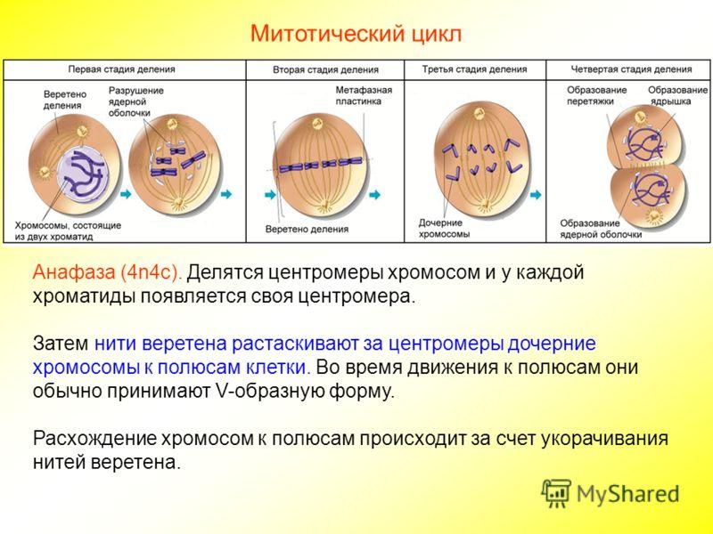 Митотический цикл Анафаза (4n4c). Делятся центромеры хромосом и у каждой хроматиды появляется своя центромера. Затем нити веретена растаскивают за центромеры дочерние хромосомы к полюсам клетки. Во время движения к полюсам они обычно принимают V-обра