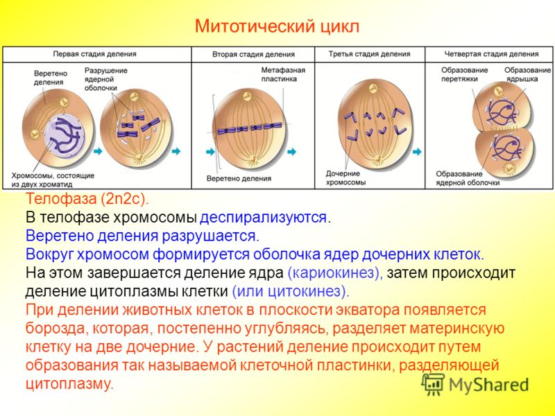 Кариокинез фото