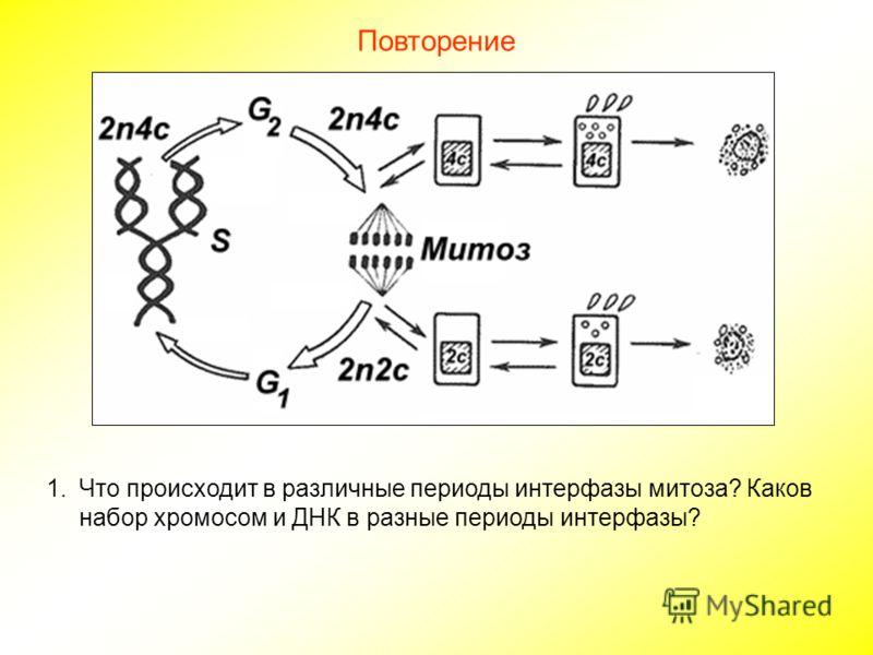 Повторение 1.Что происходит в различные периоды интерфазы митоза? Каков набор хромосом и ДНК в разные периоды интерфазы?