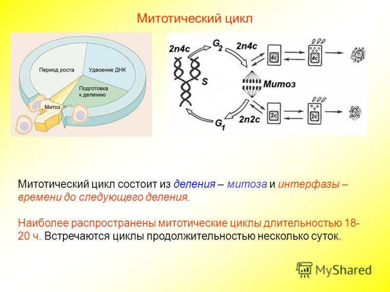 Митотический цикл Митотический цикл состоит из деления – митоза и интерфазы – времени до следующего деления. Наиболее распространены митотические циклы длительностью 18- 20 ч. Встречаются циклы продолжительностью несколько суток.