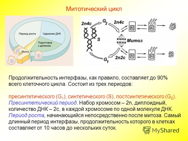 Митотический цикл Продолжительность интерфазы, как правило, составляет до 90% всего клеточного цикла. Состоит из трех периодов: пресинтетического (G 1 ), синтетического (S), постсинтетического (G 2 ). Пресинтетический период. Набор хромосом – 2n, дип