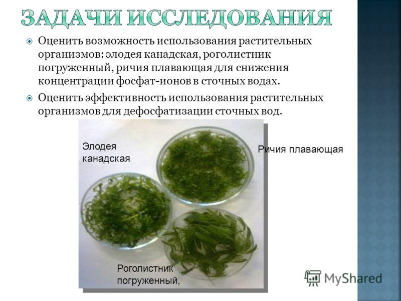 Оценить возможность использования растительных организмов: элодея канадская, роголистник погруженный, ричия плавающая для снижения концентрации фосфат-ионов в сточных водах. Оценить эффективность использования растительных организмов для дефосфатизац