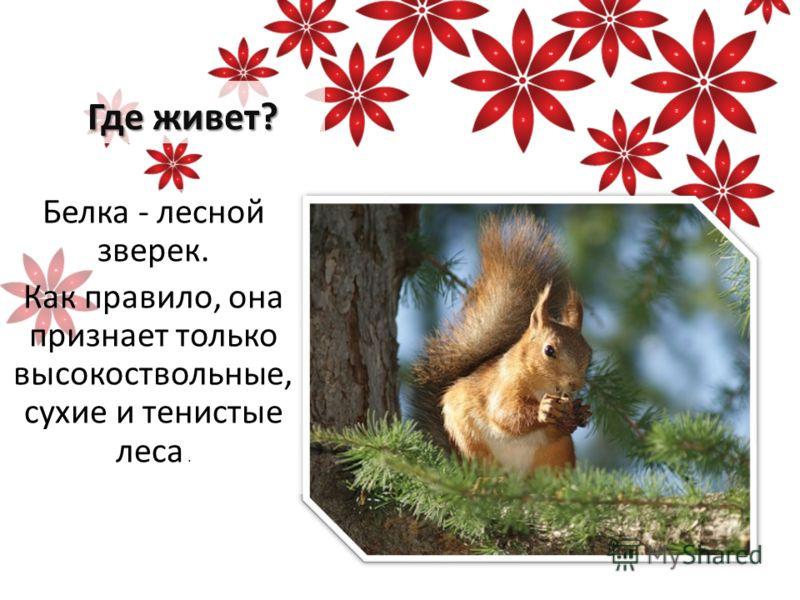 Где живет? Белка - лесной зверек. Как правило, она признает только высокоствольные, сухие и тенистые леса.