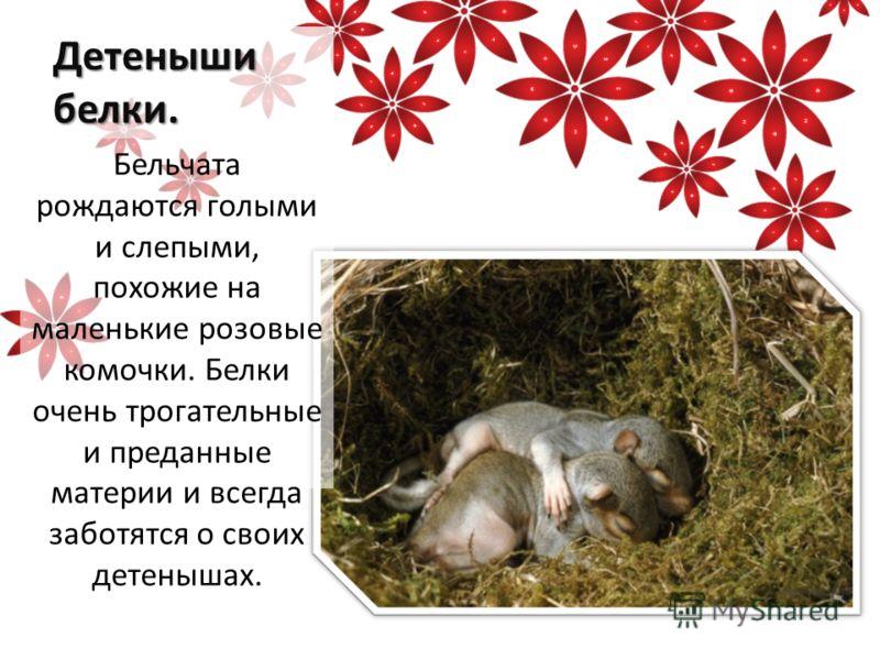 Детеныши белки. Бельчата рождаются голыми и слепыми, похожие на маленькие розовые комочки. Белки очень трогательные и преданные материи и всегда заботятся о своих детенышах.