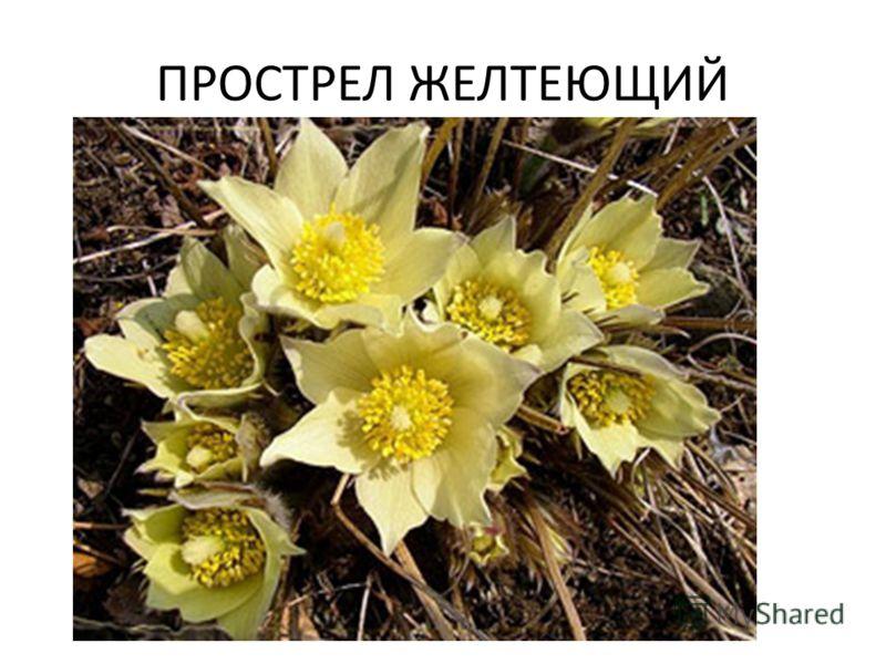 ПРОСТРЕЛ ЖЕЛТЕЮЩИЙ