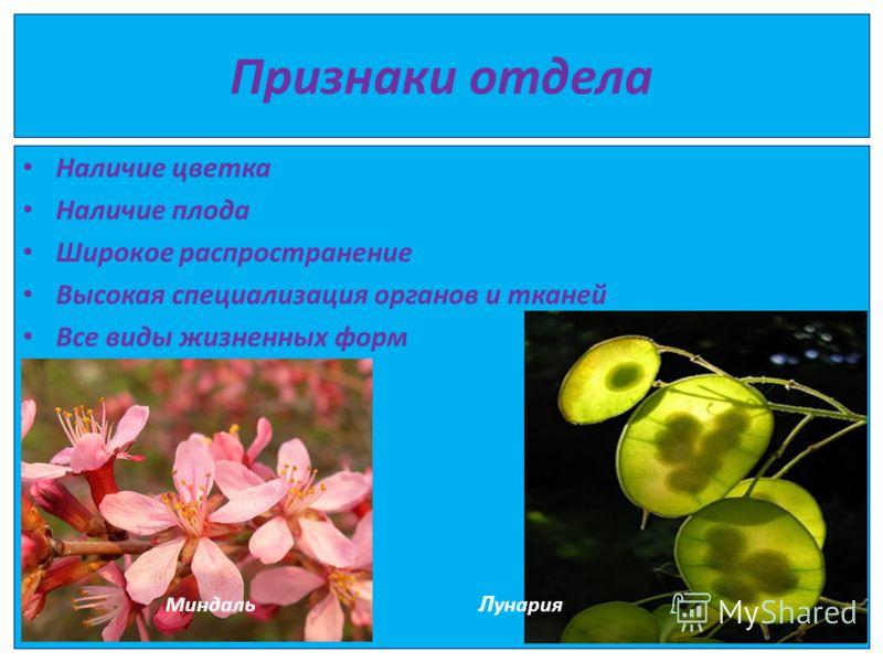 Признаки отдела Наличие цветка Наличие плода Широкое распространение Высокая специализация органов и тканей Все виды жизненных форм Миндаль Л унария