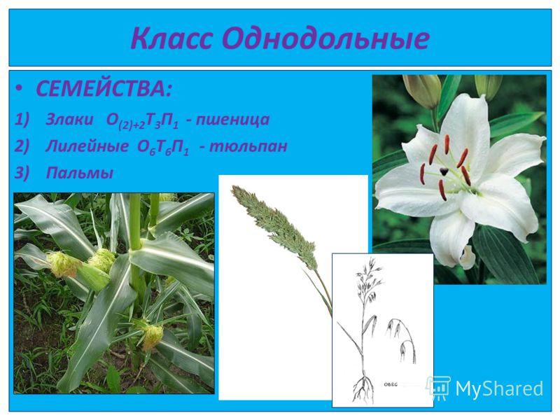 Класс Однодольные СЕМЕЙСТВА: 1)Злаки О (2)+2 Т 3 П 1 - пшеница 2)Лилейные О 6 Т 6 П 1 - тюльпан 3)Пальмы