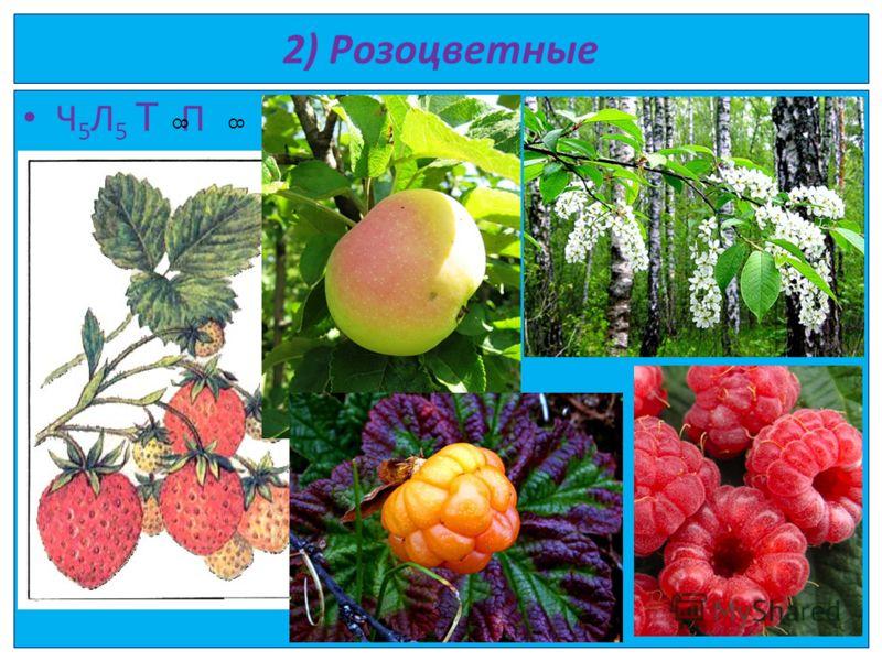 2) Розоцветные Ч 5 Л 5 Т П 88