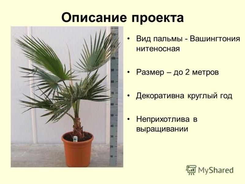 Описание проекта Вид пальмы - Вашингтония нитеносная Размер – до 2 метров Декоративна круглый год Неприхотлива в выращивании