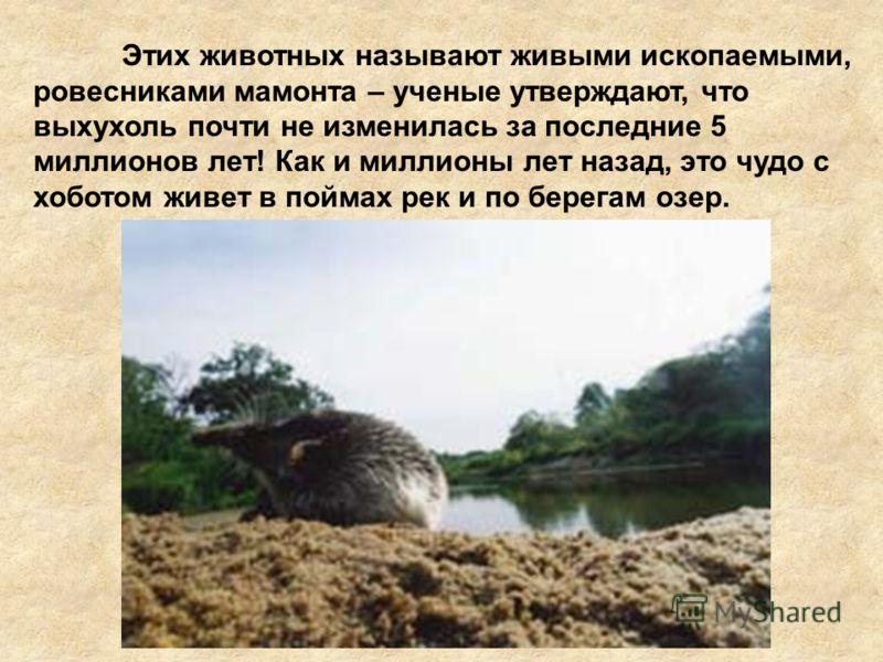 Этих животных называют живыми ископаемыми, ровесниками мамонта – ученые утверждают, что выхухоль почти не изменилась за последние 5 миллионов лет! Как и миллионы лет назад, это чудо с хоботом живет в поймах рек и по берегам озер.