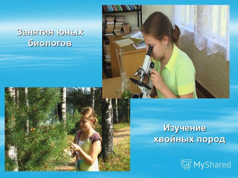 Занятия юных биологов Изучение хвойных пород