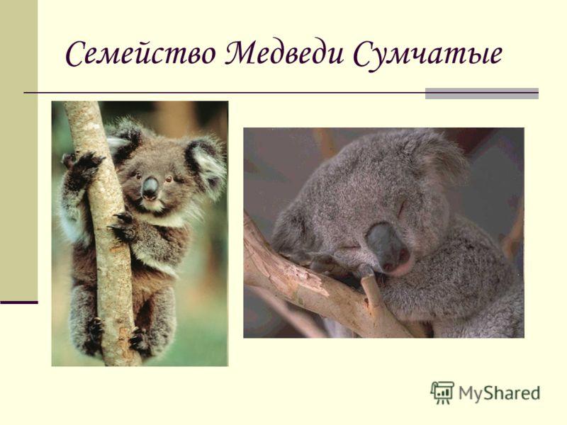 Семейство Медведи Сумчатые