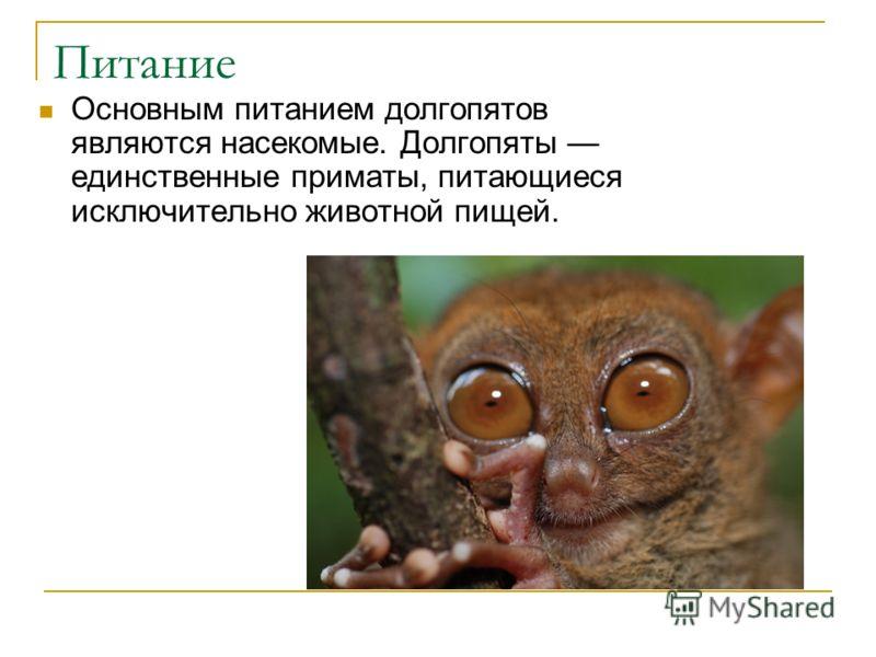 Питание Основным питанием долгопятов являются насекомые. Долгопяты единственные приматы, питающиеся исключительно животной пищей.