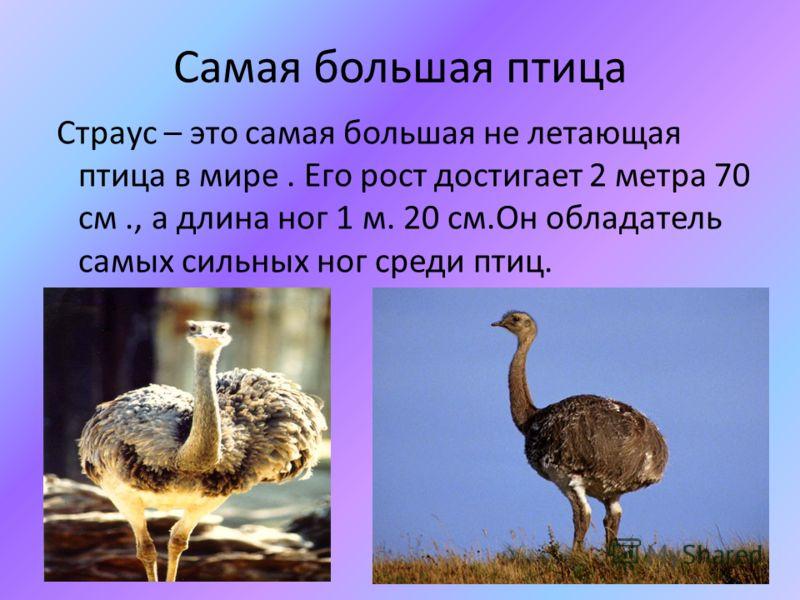Самая большая птица Страус – это самая большая не летающая птица в мире. Его рост достигает 2 метра 70 см., а длина ног 1 м. 20 см.Он обладатель самых сильных ног среди птиц.