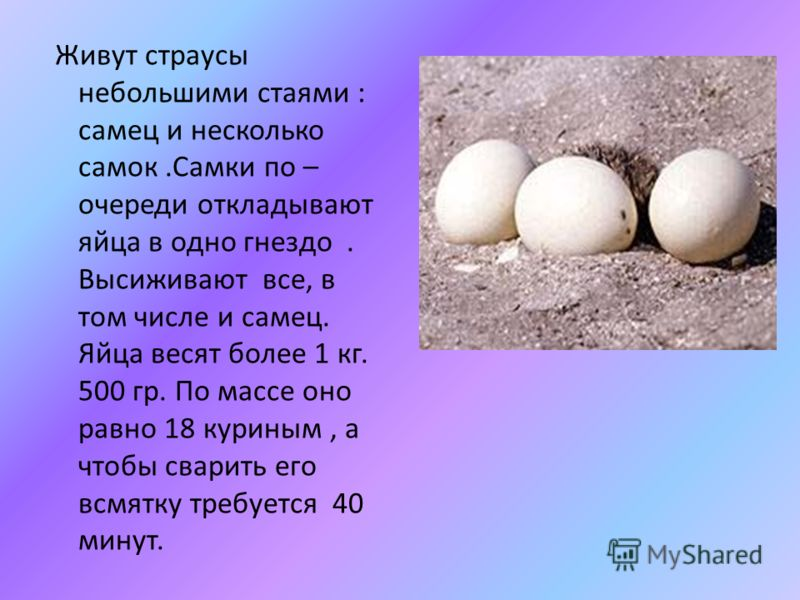 Живут страусы небольшими стаями : самец и несколько самок.Самки по – очереди откладывают яйца в одно гнездо. Высиживают все, в том числе и самец. Яйца весят более 1 кг. 500 гр. По массе оно равно 18 куриным, а чтобы сварить его всмятку требуется 40 м
