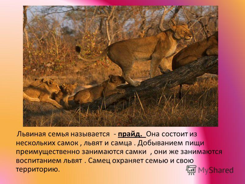 Львиная семья называется - прайд. Она состоит из нескольких самок, львят и самца. Добыванием пищи преимущественно занимаются самки, они же занимаются воспитанием львят. Самец охраняет семью и свою территорию.