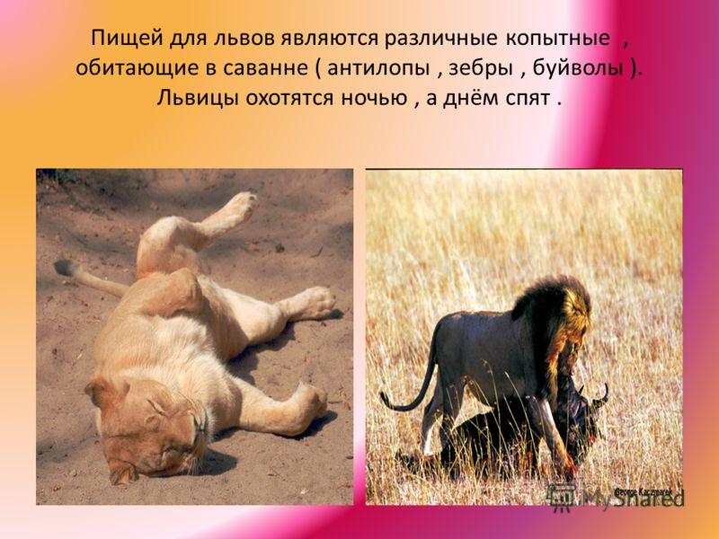 Пищей для львов являются различные копытные, обитающие в саванне ( антилопы, зебры, буйволы ). Львицы охотятся ночью, а днём спят.