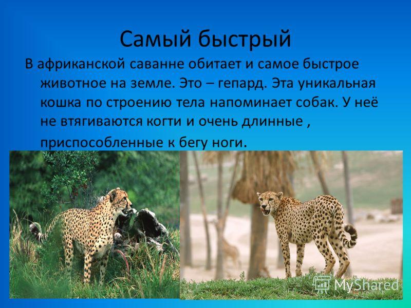 Самый быстрый В африканской саванне обитает и самое быстрое животное на земле. Это – гепард. Эта уникальная кошка по строению тела напоминает собак. У неё не втягиваются когти и очень длинные, приспособленные к бегу ноги.