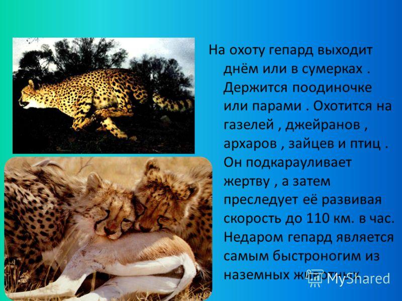 На охоту гепард выходит днём или в сумерках. Держится поодиночке или парами. Охотится на газелей, джейранов, архаров, зайцев и птиц. Он подкарауливает жертву, а затем преследует её развивая скорость до 110 км. в час. Недаром гепард является самым быс