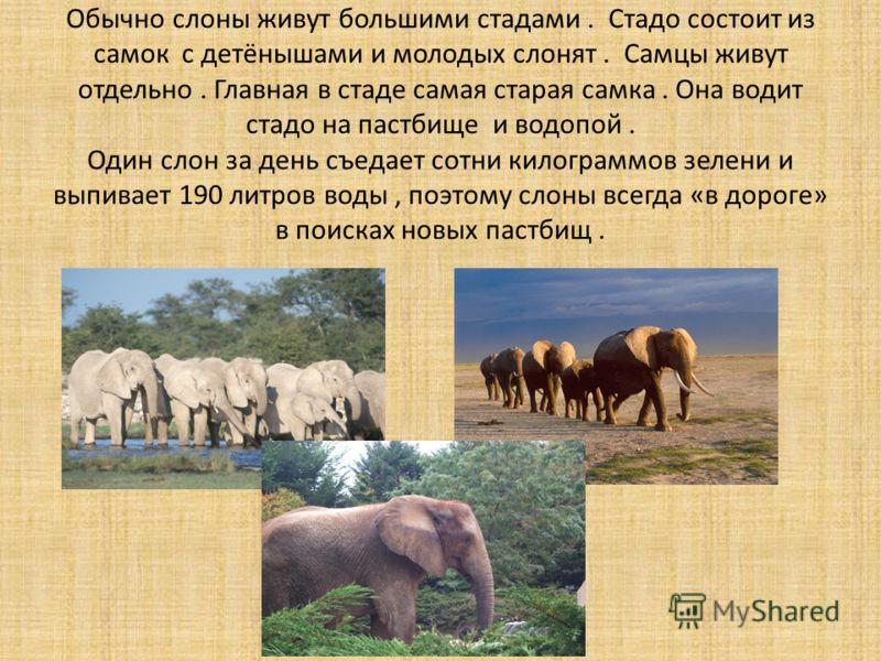 Обычно слоны живут большими стадами. Стадо состоит из самок с детёнышами и молодых слонят. Самцы живут отдельно. Главная в стаде самая старая самка. Она водит стадо на пастбище и водопой. Один слон за день съедает сотни килограммов зелени и выпивает