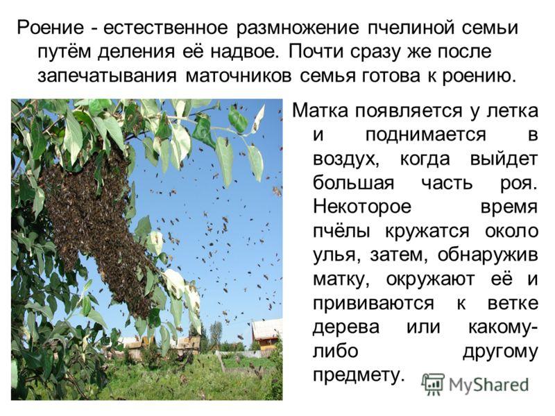 Роение - естественное размножение пчелиной семьи путём деления её надвое. Почти сразу же после запечатывания маточников семья готова к роению. Матка появляется у летка и поднимается в воздух, когда выйдет большая часть роя. Некоторое время пчёлы круж