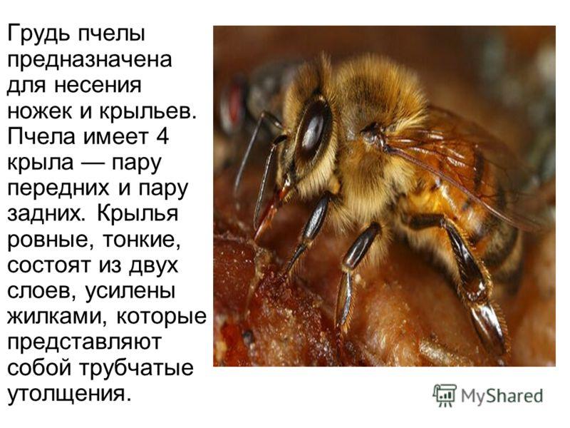 Грудь пчелы предназначена для несения ножек и крыльев. Пчела имеет 4 крыла пару передних и пару задних. Крылья ровные, тонкие, состоят из двух слоев, усилены жилками, которые представляют собой трубчатые утолщения.