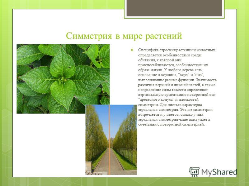 Симметрия в мире растений Специфика строения растений и животных определяется особенностями среды обитания, к которой они приспосабливаются, особенностями их образа жизни. У любого дерева есть основание и вершина,