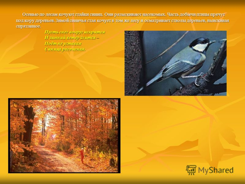 Осенью по лесам кочуют стайки синиц. Они разыскивают насекомых. Часть добычи птицы прячут Осенью по лесам кочуют стайки синиц. Они разыскивают насекомых. Часть добычи птицы прячут под кору деревьев. Зимой синичья стая кочует в том же лесу и осматрива
