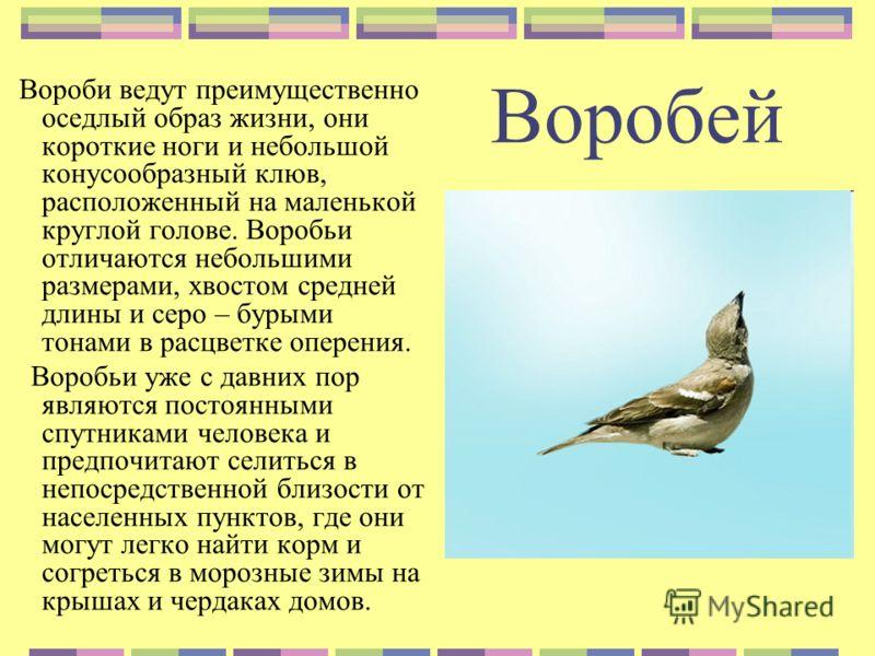 Воробей Вороби ведут преимущественно оседлый образ жизни, они короткие ноги и небольшой конусообразный клюв, расположенный на маленькой круглой голове. Воробьи отличаются небольшими размерами, хвостом средней длины и серо – бурыми тонами в расцветке