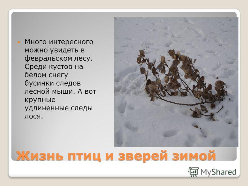 Жизнь птиц и зверей зимой Много интересного можно увидеть в февральском лесу. Среди кустов на белом снегу бусинки следов лесной мыши. А вот крупные удлиненные следы лося.