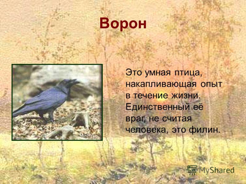 Ворон Это умная птица, накапливающая опыт в течение жизни. Единственный её враг, не считая человека, это филин.